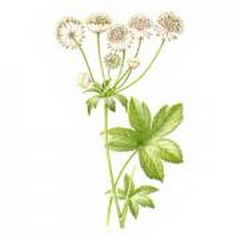 астранция большая (astrantia major)
